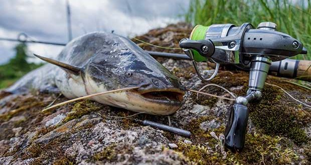 catfish just caught lying on the rocks next to a spinning reel and rod