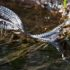 Cotton mouth mocassin swimming in a body of water.