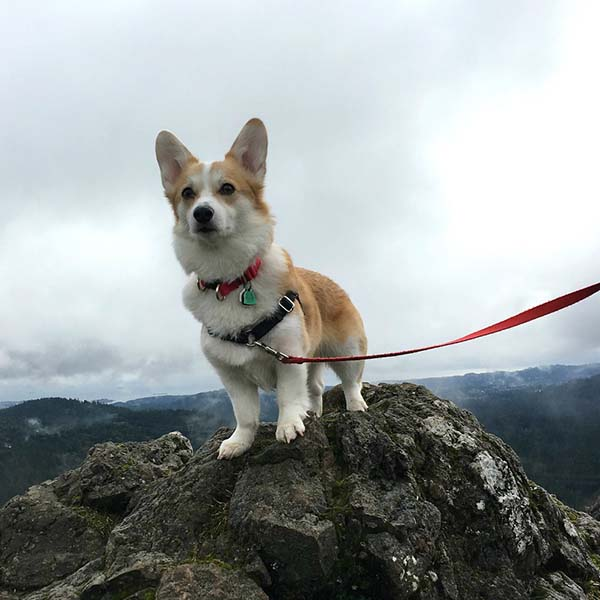 Corgi on a leash out hiking a rocky trail.