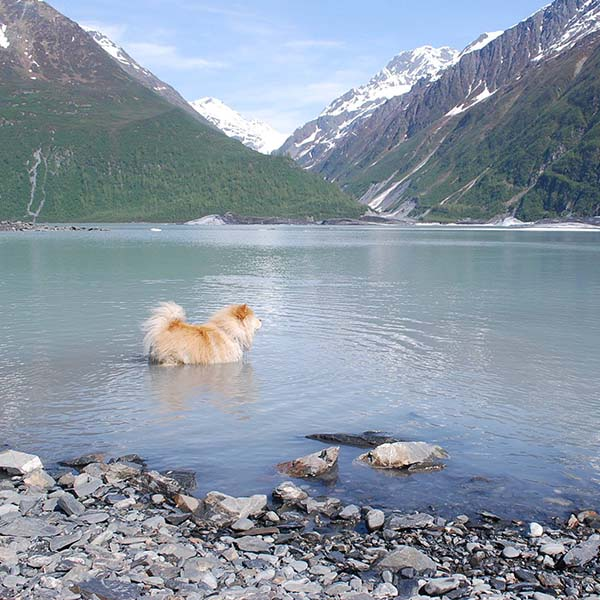 A furry dog swimming in a clear mountain lake while on a camping trip.