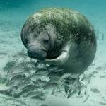 the reason you swim with the manatees