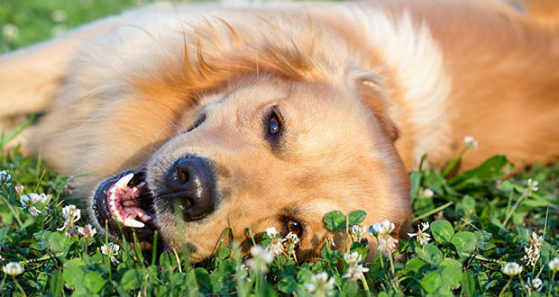 an outdoors golden retriever in the sunshine rolling in the clover