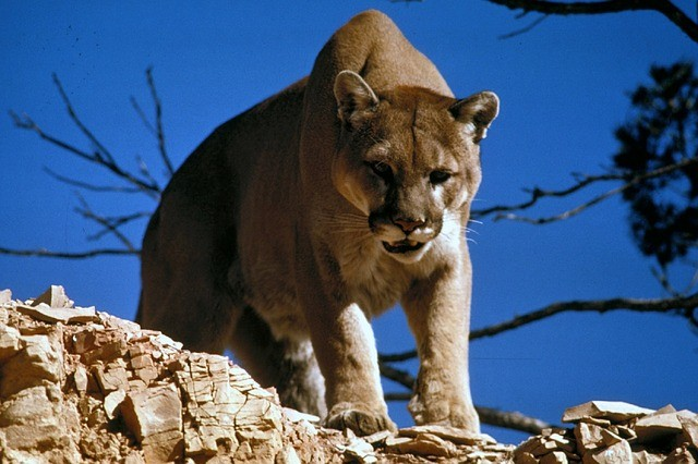 dangerous animals cougar